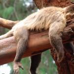 Müder Affe - mit Scrum wäre das anders